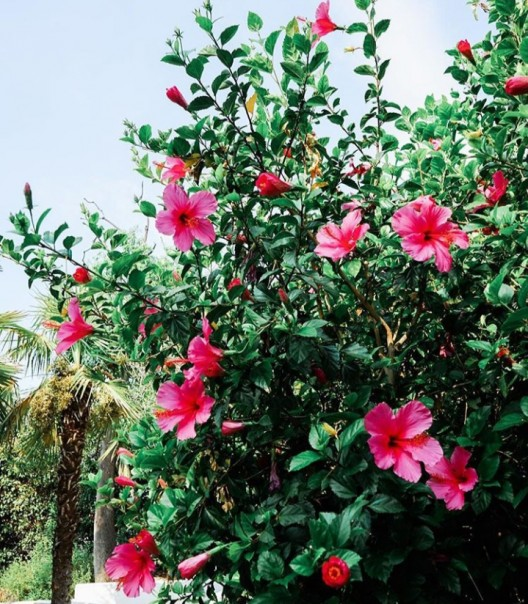 Manfaat Bunga Kembang Sepatu Cocok Untuk Wanita Agar Terlihat Cantik News24 Co Id